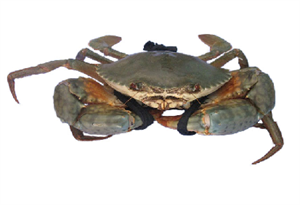 Picture of SEA CRAB