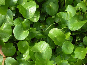 Picture of CENTELLA ASIATICA