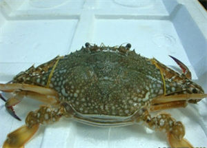 Picture of LIVE BLUE CRAB